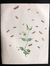 Humphreys & Westwood British Moths 1845 Hand Col Print 118